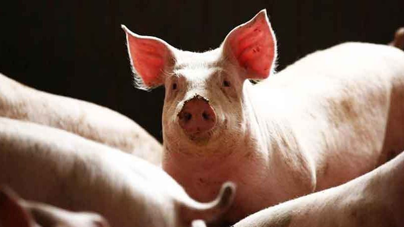 Farmers declare 'moral victory' after revisions to pork import EO