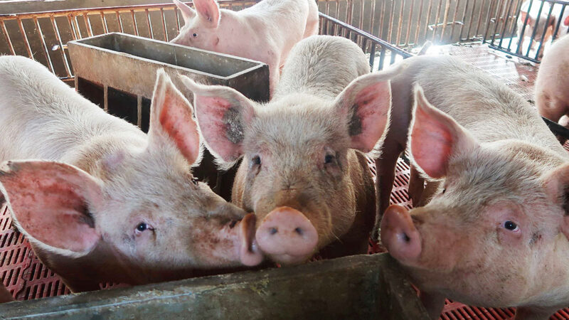 Hog raisers say industry can't withstand pork import surge