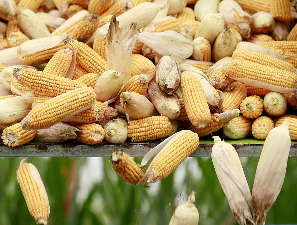 High meat, poultry production costs blamed on corn tariffs